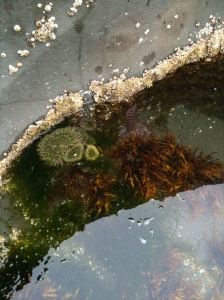 Anemones,starfish,tide pool, ocean, beach